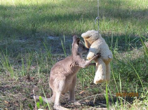 doodlebug orphaned kangaroo doodlebug orphaned kangaroo stories that made us smile in