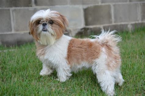how many puppies can a shih tzu are shih tzus hypoallergenic canna pet 174
