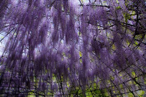flower tunnel japan drelis gardens surreal wisteria flower tunnel in japan
