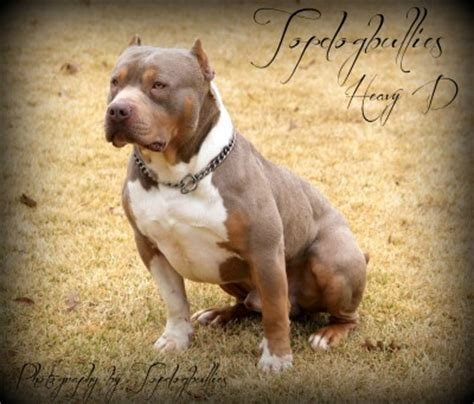 purple tri bully puppies for sale best pitbulls american bully breeder kennel tri puppies for sale