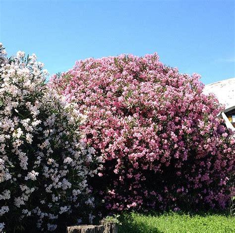 fiori di oleandro vita da fiori oleandro colori e veleno