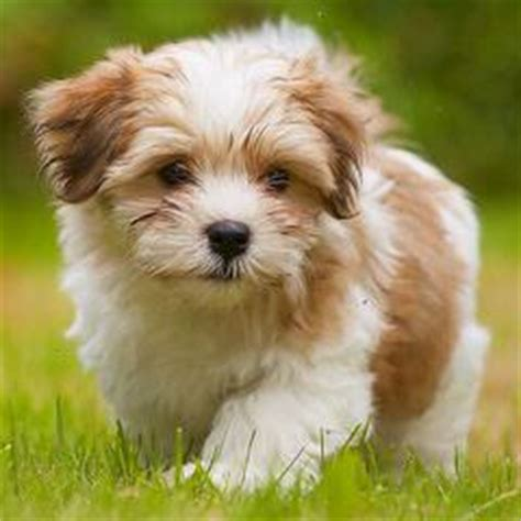 moorea havanese breeders in massachusetts puppies for sale in massachusetts