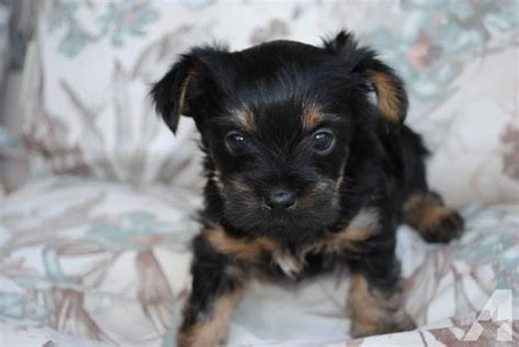 yorkies for sale oregon brussels griffon yorkie for sale in grants pass oregon classified americanlisted