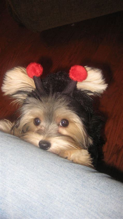 teacup yorkie costumes 116 best morkie images on puppies dogs and baby puppies