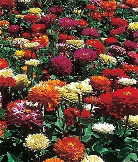 zinnias flower garden state fair mix zinnia seeds and plants annual flower
