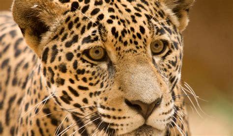 jaguar pattern house cat jaguar big cat facts information pictures