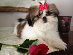 shih tzu care tips shih tzu puppies care tips and guide kanineklub