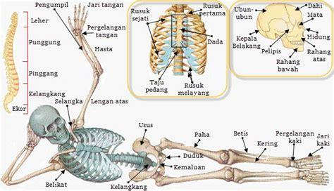 sistem rangka pada tubuh manusia dan macam macam jenis bentuk tulang