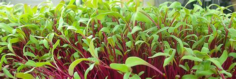 Fiber Soil microgreens all you need to know before growing them