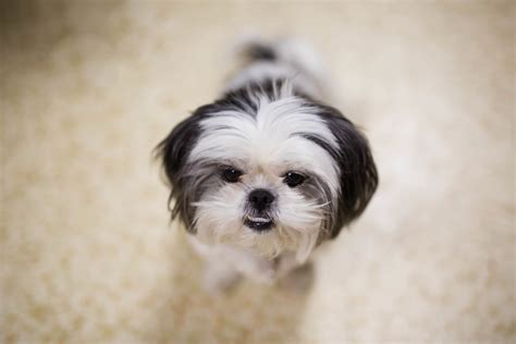 shih tzu photography gracie lu shih tzu photos