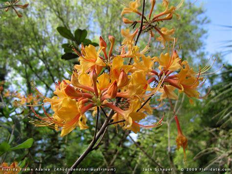 Set Kulot Azalea Yellow rhododendron austrinum
