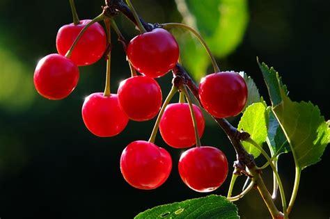 cherry tree no fruit free photo cherries cherry branch fruit free image on pixabay 826113