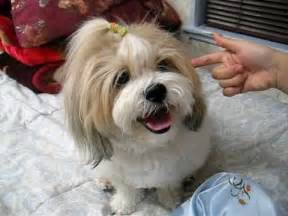 how to cut a shichon s hair shichon teddy bear tricks youtube