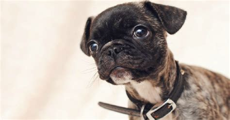 pug cross breeds australia 14 most frequently asked questions about pugs
