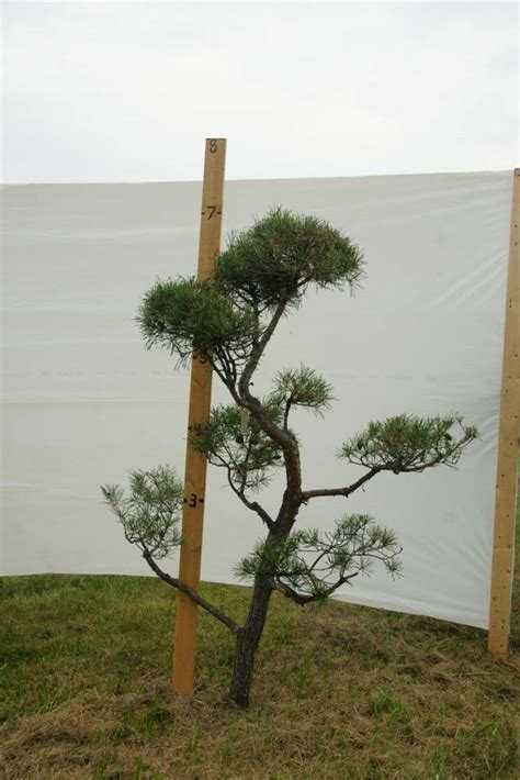 scotch pine topiary 187 scotch pine topiary tree 415 plants beautiful nursery