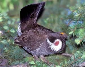 Dusky grouse songs and calls larkwire