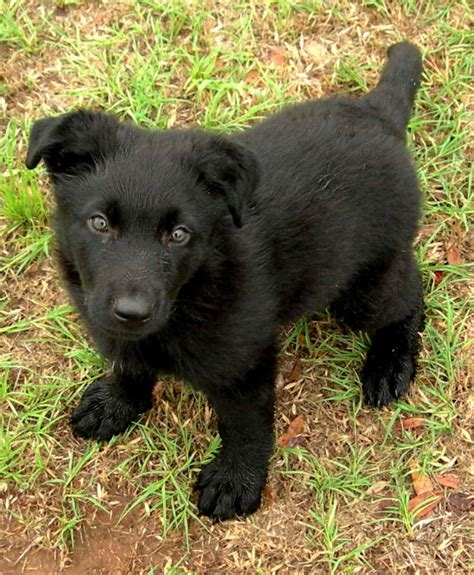 black shepherd puppies 7 things you didn t about the black german shepherd animalso