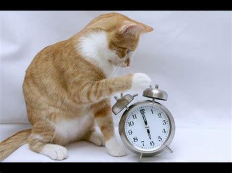 cat cat alarm clock cat pet rescue