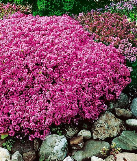 165 best images about garden groundcover walkable plants on pinterest