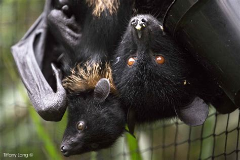 fruit bats world s most endangered fruit bat could soon be extinct