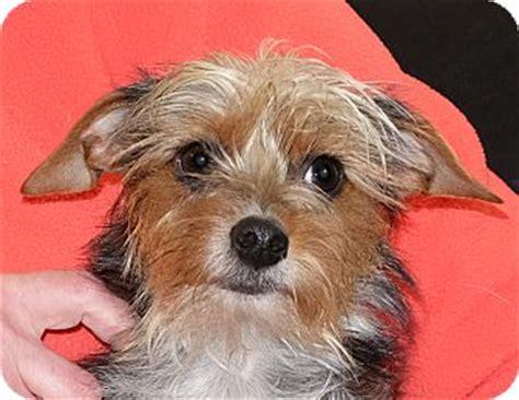 puppies for adoption spokane wa spokane wa yorkie terrier mix meet priscilla a for adoption