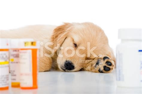 sick golden retriever sick golden retriever puppy sleeping with medicine bottles stock photos freeimages