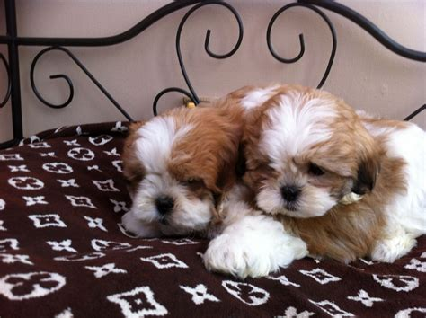 maltese shih tzu for sale uk shih tzu x maltese puppies for sale lanark lanarkshire pets4homes