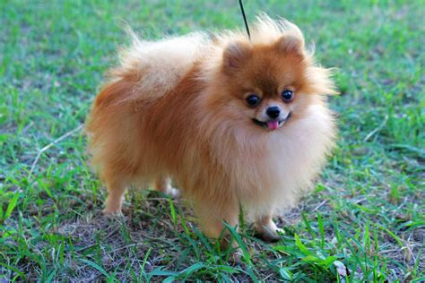 small pomeranian dogs pomeranian breed 187 information pictures more