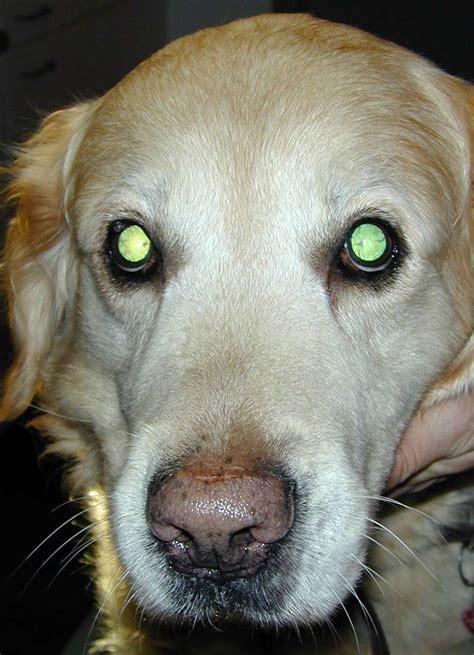 cataracts in golden retrievers cataract
