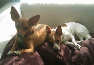 rat terrier chihuahua puppy rat cha rat terrier x chihuahua mix info temperament puppies pictures