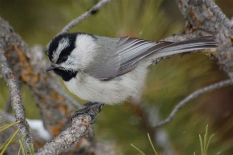 mountain chickadee georgetown colorado