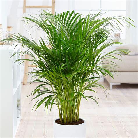 areca palm freshpetals