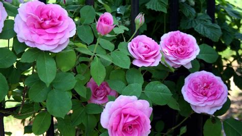 when to plant climbing roses best way to prune and climbing roses