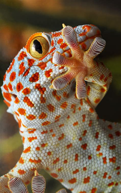 gecko change color tokay gecko they are beautiful they change colors they