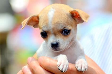 free chihuahua puppies chihuahua puppy free stock photo domain pictures