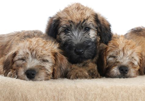 soft haired wheaten terrier puppy soft coated wheaten terrier puppies available in tucson az