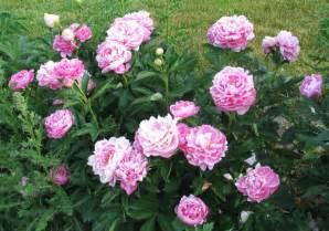peonies garden bloggers bloom day