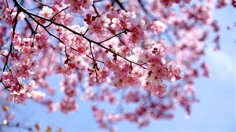 fiore di cigliegio gli alberi profumati saper scegliere quelli giusti