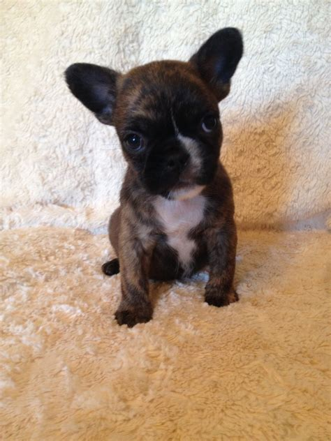 dogs now beautiful blue gene frug puppies ready now manchester greater manchester pets4homes