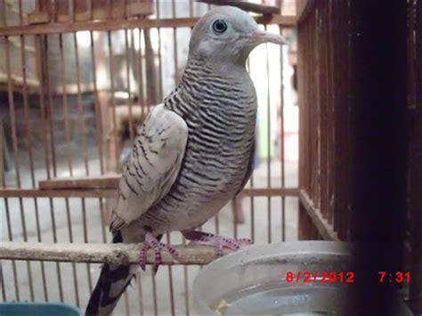 Sangkar Perkutut By Chan Kicau dunia burung kicau prinsip beternak perkutut