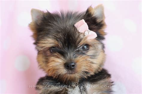 teacup yorkie puppies sale teacup yorkie puppies for sale 7 high resolution wallpaper dogbreedswallpapers