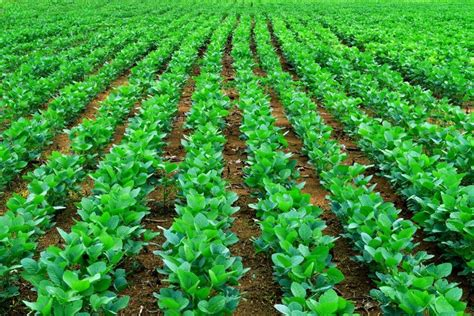 healthy fats soybean plenish soybeans and the genetic reduction of trans fats