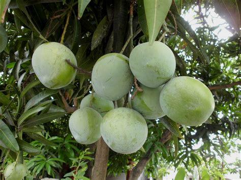 Bibit Mangga Alpukat Pasuruan 9 jenis mangga yang paling enak makan satu buah mana cukup