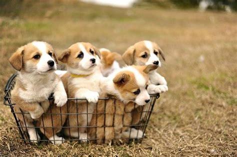 corgi puppies for sale in new corgi puppies for sale pembroke corgi theflyer