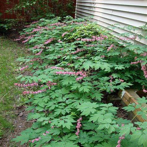 Onlineplantcenter 1 Gal Old Fashioned Bleeding Heart Fashioned Garden Flowers