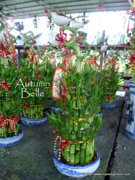 new year bamboo plant my garden buying auspicious indoor plants for