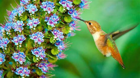 wallpaper hummingbird hd animals
