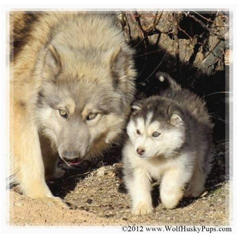 wolf hybrid puppies adoption 17 best images about animals canine 4 on wolves a wolf and maned wolf