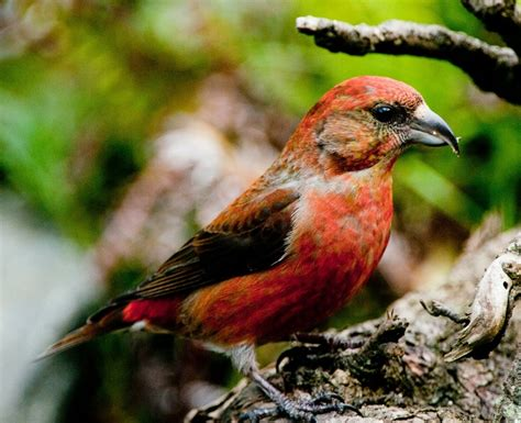 red crossbill birds of wisconsin pinterest