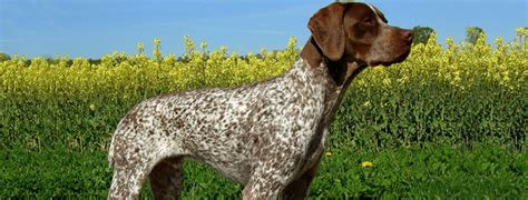 braque francais puppies braque francais breed guide learn about the braque francais